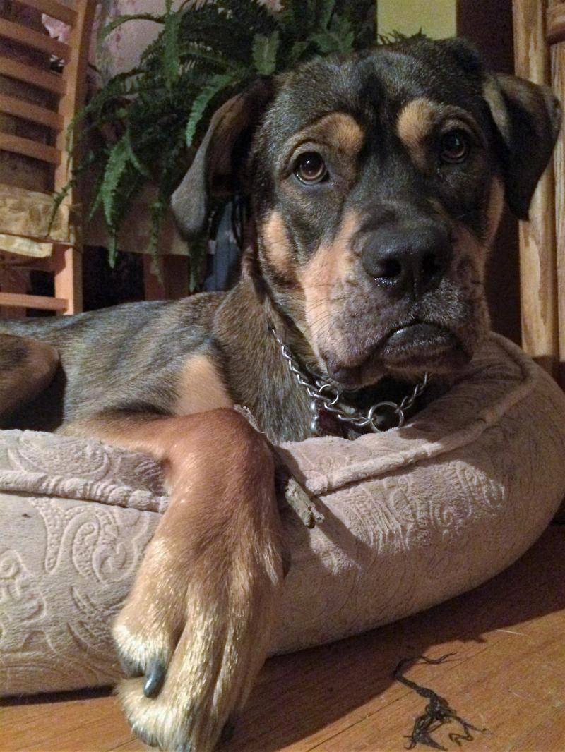 Adopt Sadie On With Images Dog Adoption Rottweiler Mix Rottweiler Puppies