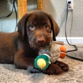 Buster Brown Chocolate Labrador Retriever Vspets The Internet Pet Competition 10 Week Old Akc Registered Chocolate Lab Future Du Labradors Choco