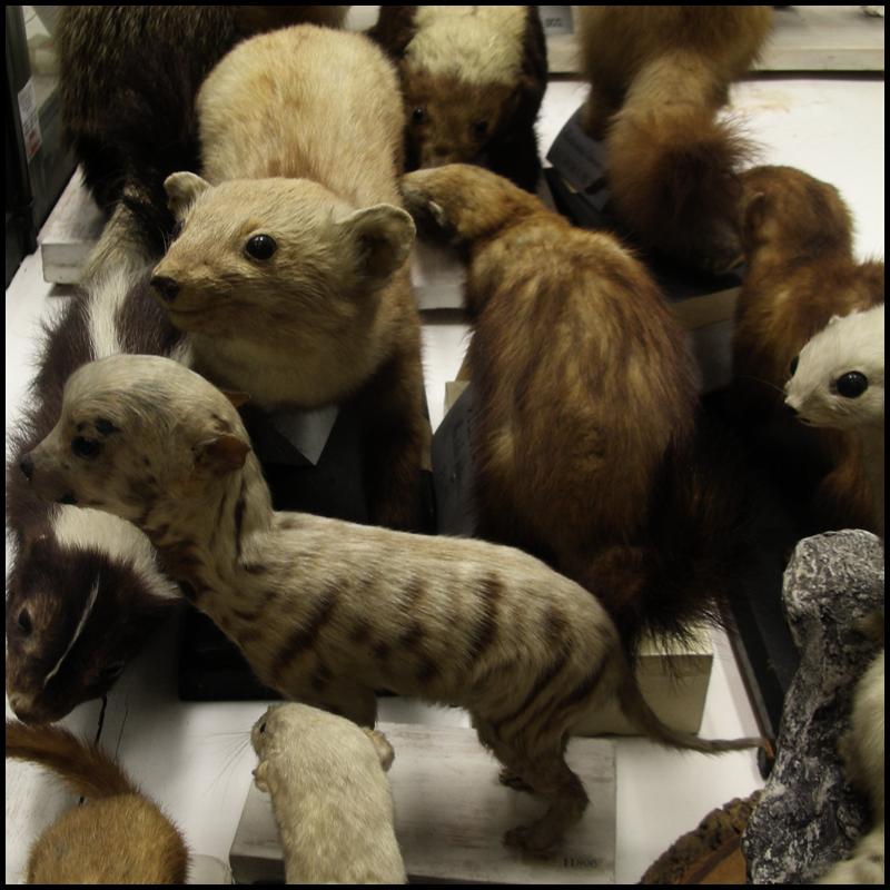 'Stranger', polecats and a dog, Bologna Zoology Museum, Italy 2008 © Incognita Nom de Plume