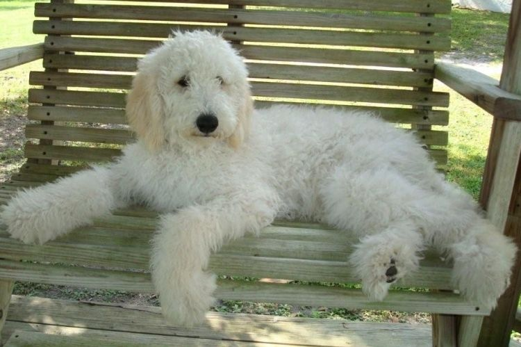 TampaBayDoodles Goldendoodle, White puppies, Puppies