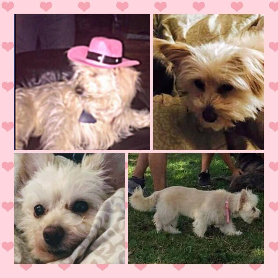 Back Home Dog West Highland White Terrier Westie Miami