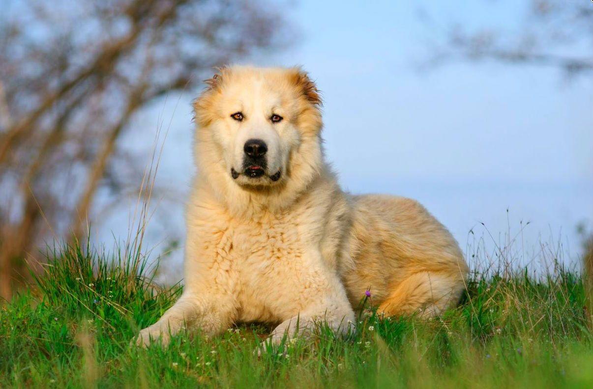 Собака алабай (фото): добрый нрав под грозной внешностью ...