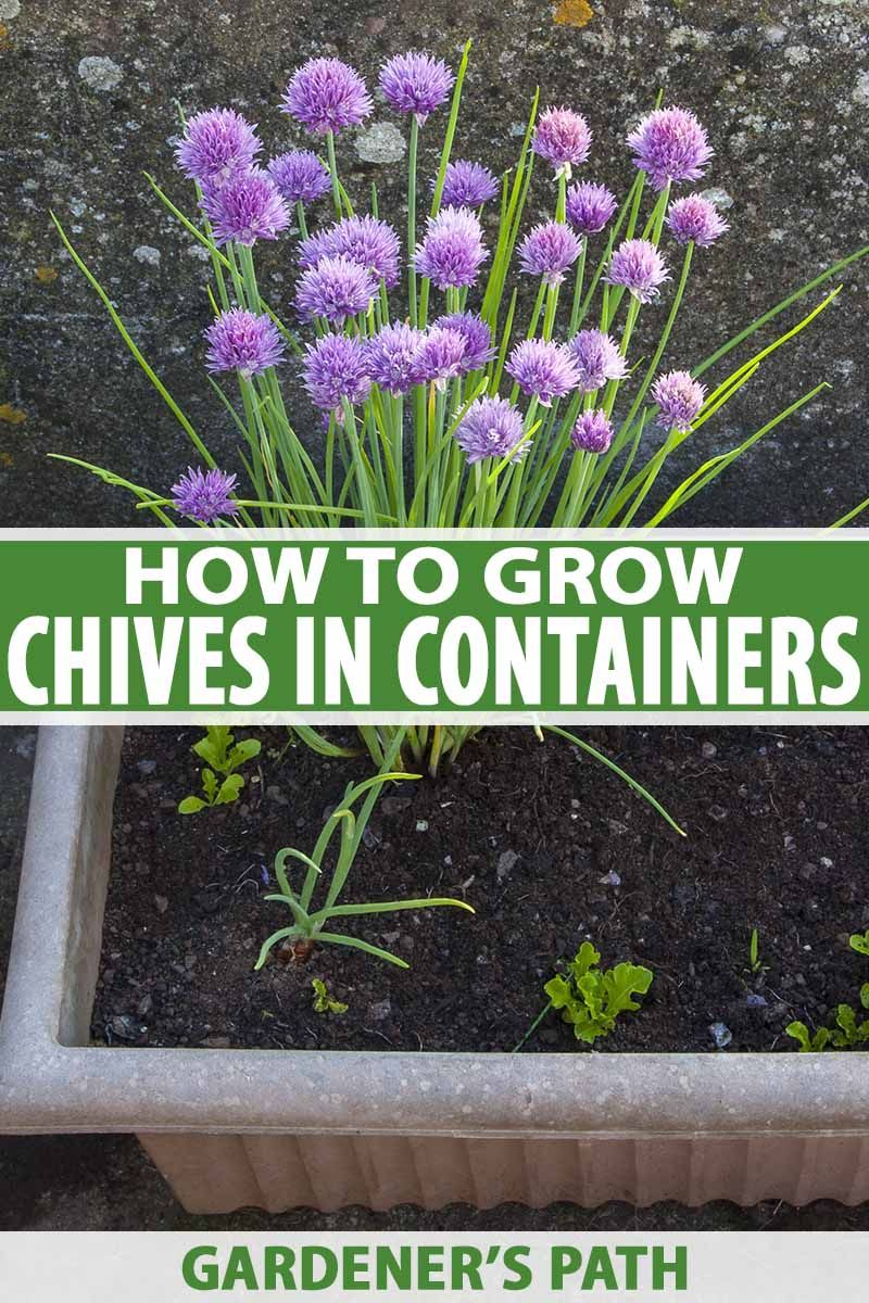 How To Grow Chives In Containers Gardener S Path Growing Chives Container Garden Design Container Gardening