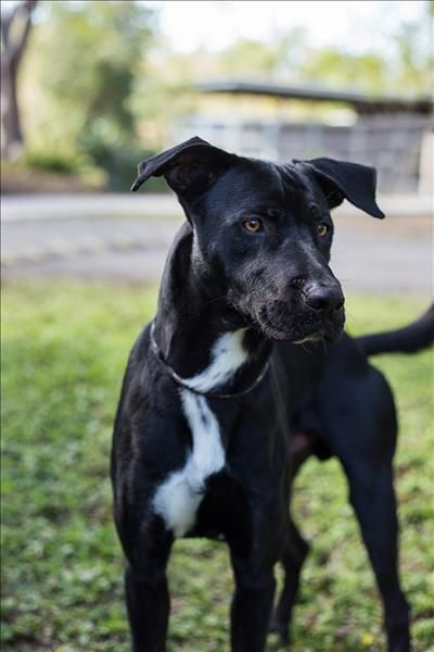 Tommy Bull Arab X Bull Arab Dog Unique Dog Breeds Rare Dog Breeds