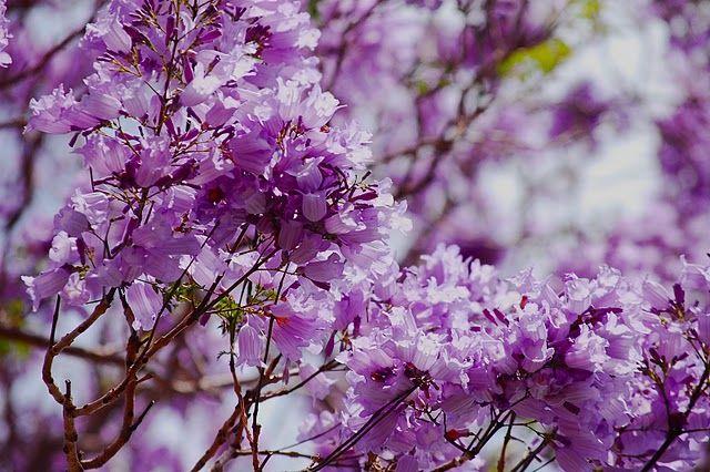 Brisbane Daily Photo Spring Swan Song Pretty Plants Jacaranda Tree Bloom Blossom