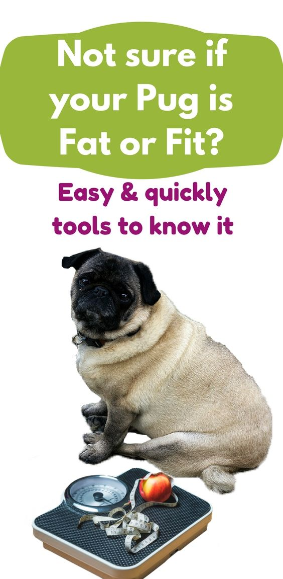 Is My Dog Overweight Easy And Quickly Charts To Know It Pugs
