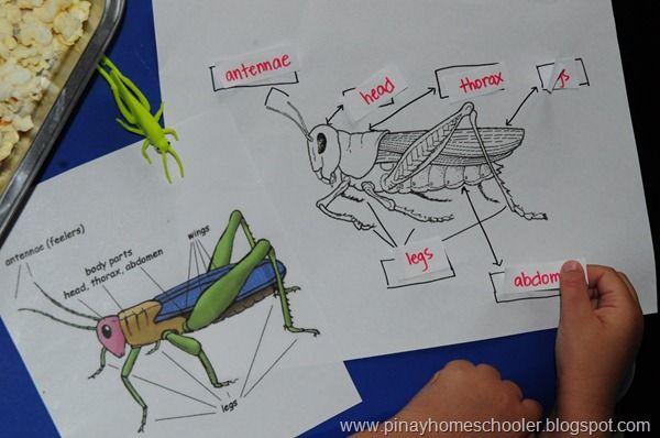 Grasshoppers Insect Activities Preschool Science Activities Montessori Science