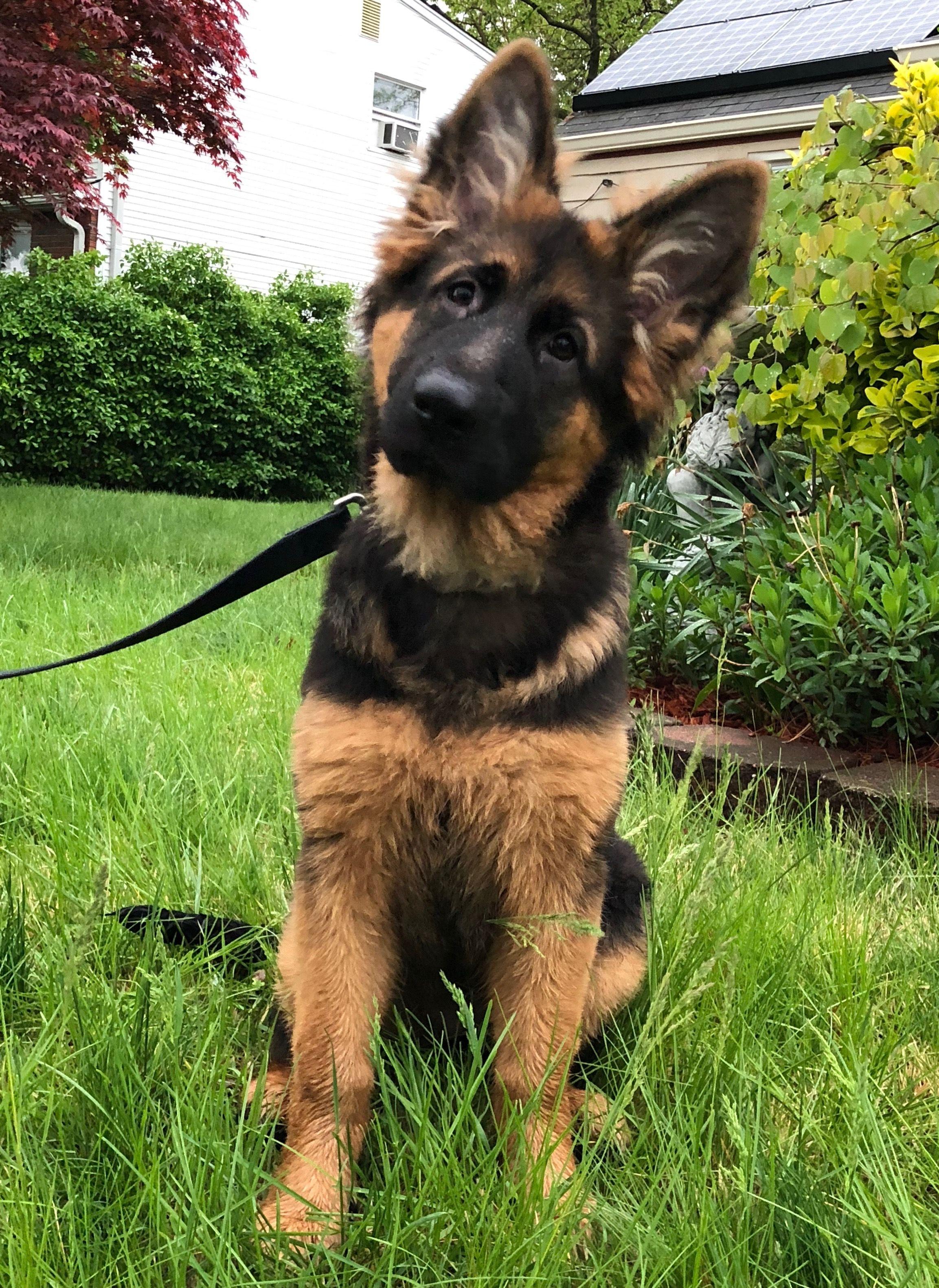 Gsd Puppy Animals That I Will Own German Shepherd Puppies