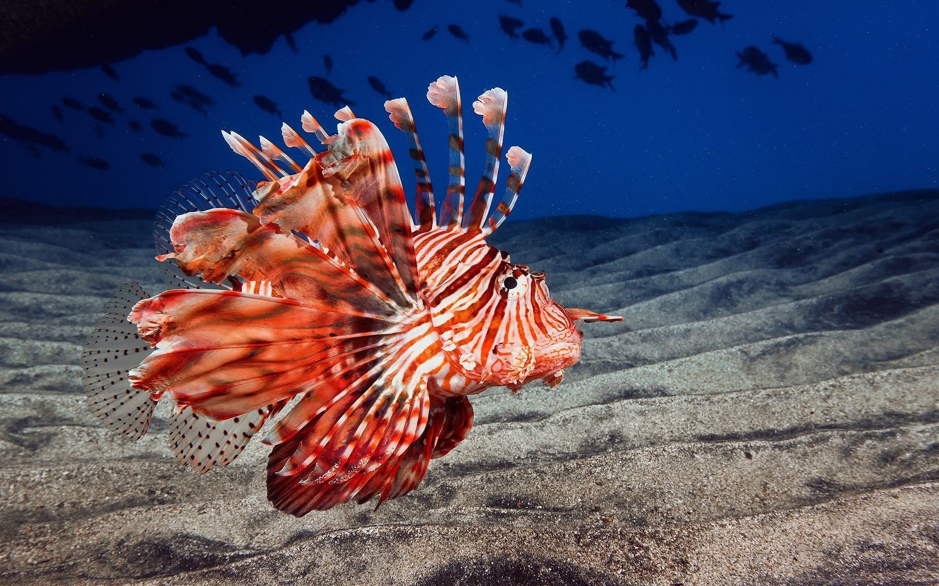 Lionfish animals fishes underwater sea ocean life sand color fins ...