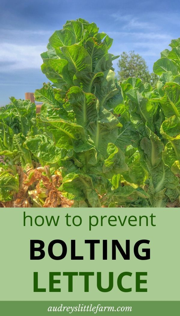 Why Your Lettuce Is Bolting and What To Do With It - Audrey's Little Farm