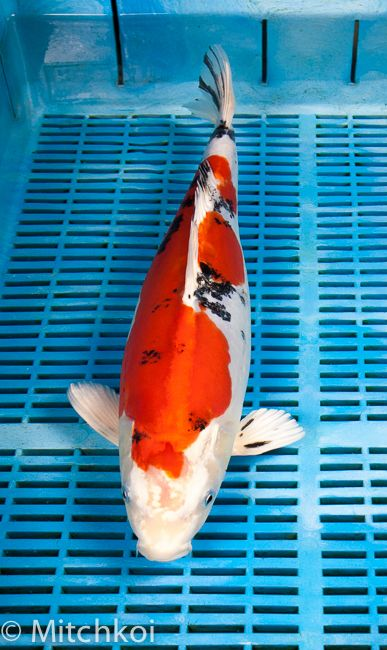 A sensational Yamatonishiki. This koi has a wonderful metallic lustre, with vibrant colouration and a pattern to die for. We love this one! Size: 43cm (17