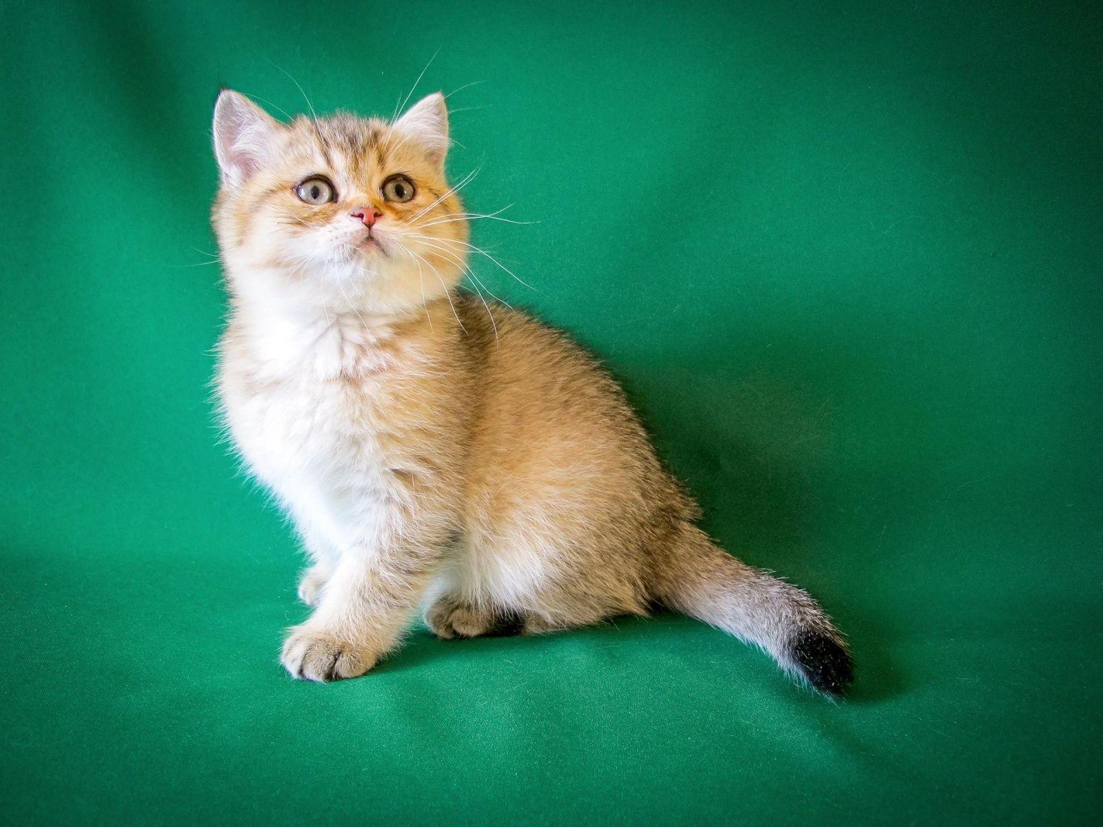 2 Months 6 Days Old British Shorthair Kitten Of Black Ticked Color In 2020 British Shorthair Kittens British Shorthair Kitten Photos