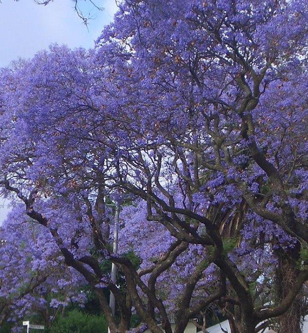 Flowering Pear Trees For Sale Flowering Trees Flowering Pear Tree Flowering Trees Small Gardens