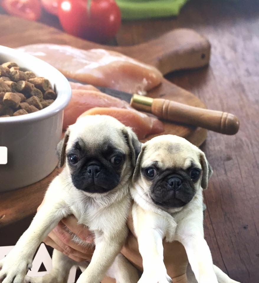 Pug Purebreed Puppies For Sale Super Duper Piggy Looks Family