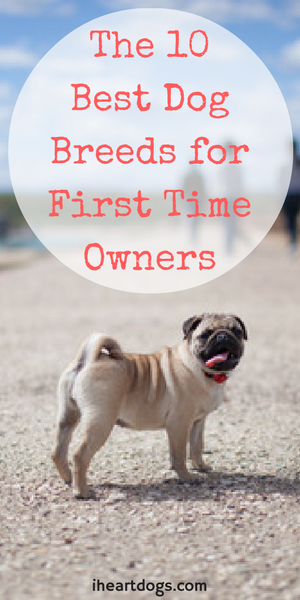 The 10 Best Dog Breeds For First Time Owners Family Friendly Dogs Friendly Dog Breeds Best Dog Breeds