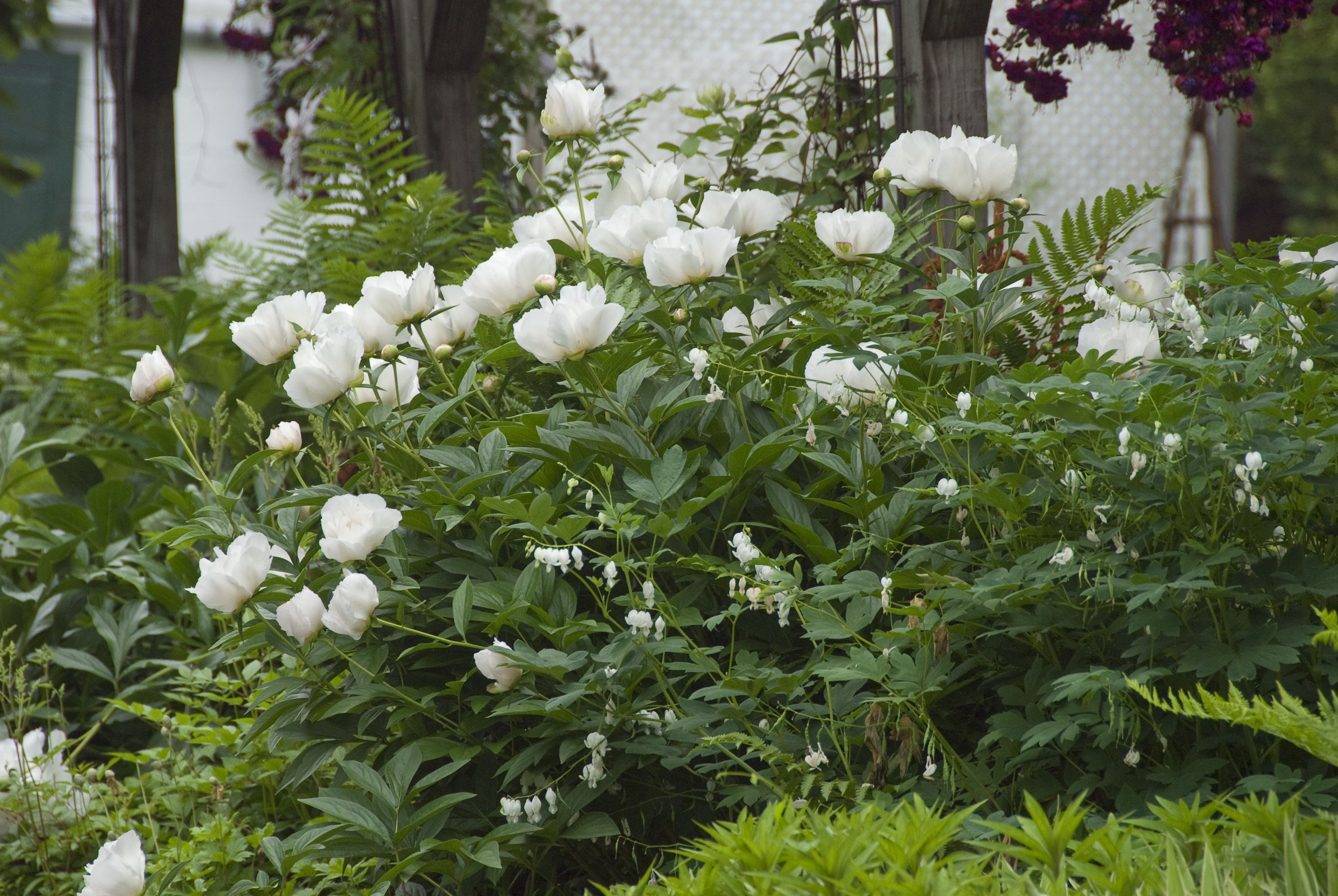 White Peony And White Dicentra Spectabilis In Bloom At White Flower
