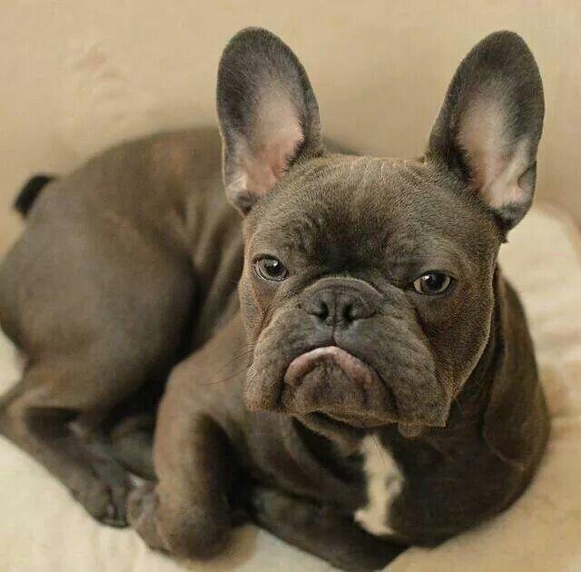 Frank As An Adult French Bulldog Still So Cute French