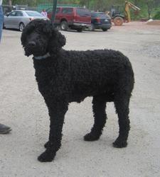 Adopt Queenie On Dogs Schnauzer Mix Poodle
