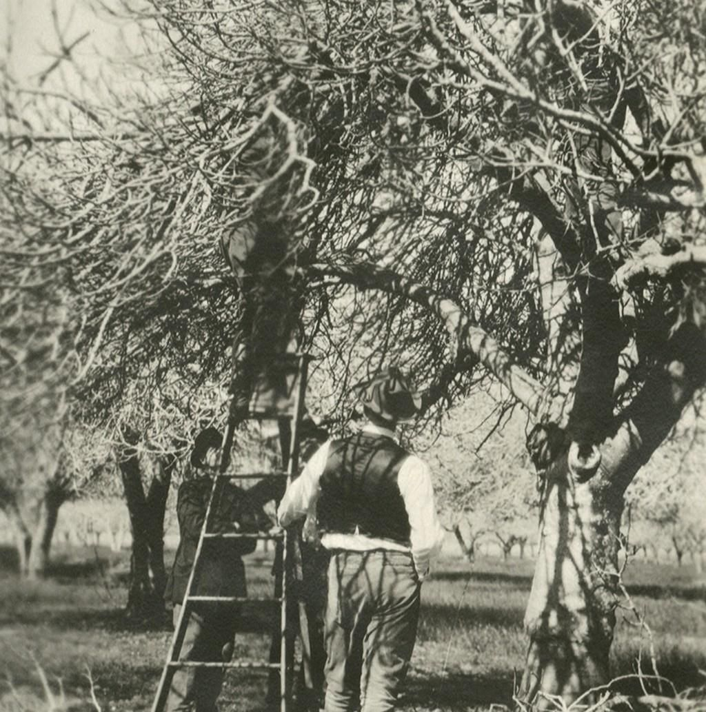 Here`s a great #TBT of a UCCE Yolo County Pruning Demonstration, circa March, 1922. How do you prune your orchards? How much has changed in the last 94 years?