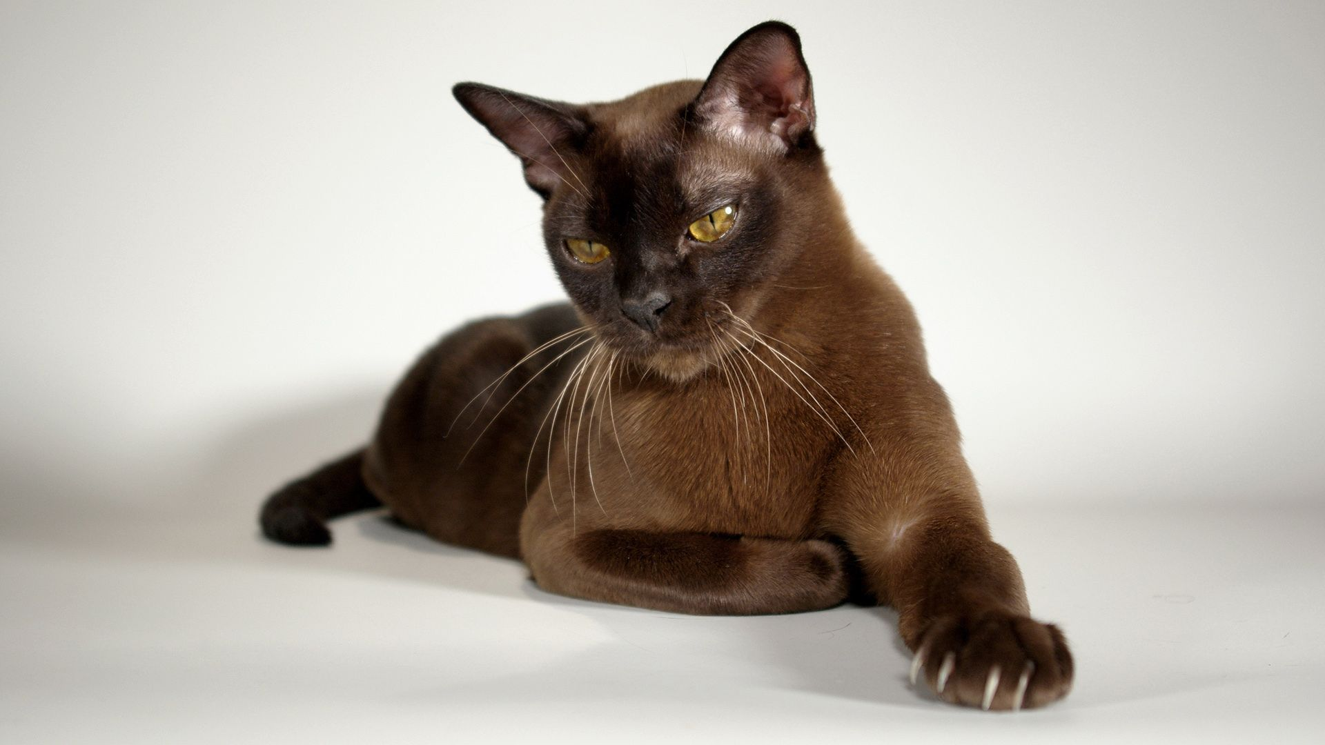 Burmese lovely chocolate color burmese cat cats and