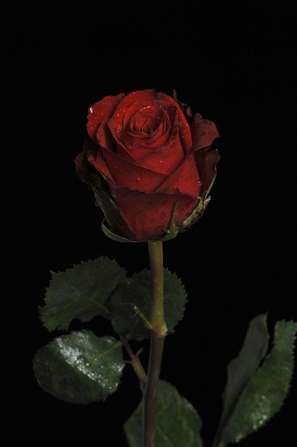 Pin On Red Dark red rose aesthetic wallpaper
