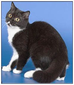 British Shorthair Cat Black With White Bi Color Cat Breeds