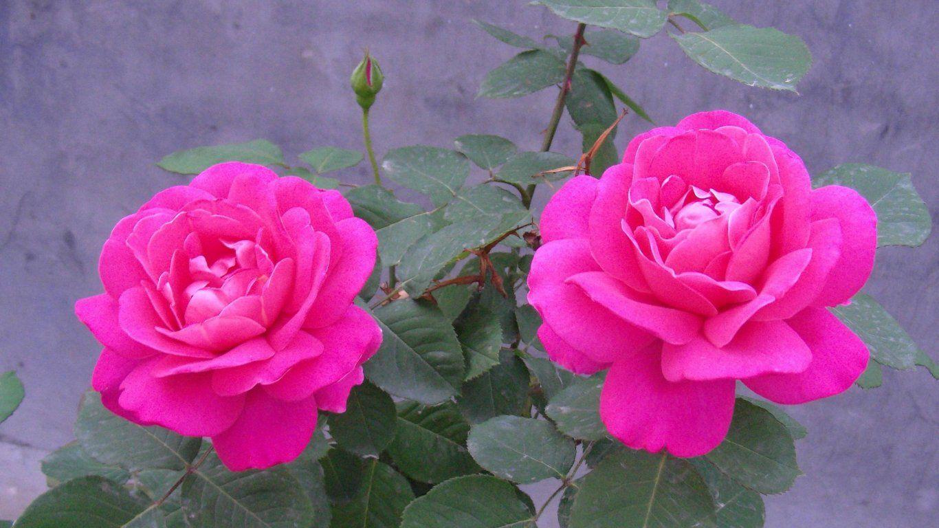 Rosa rosa flor rosa hd papéis de parede 1366x768 hd
