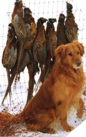 Saturday Night Golden Retrievers Hunting Field Golden