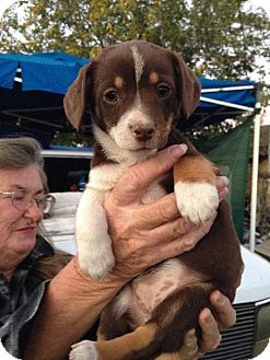 Palo Alto Ca Dachshund Beagle Mix Meet Tootsie Roll A Puppy