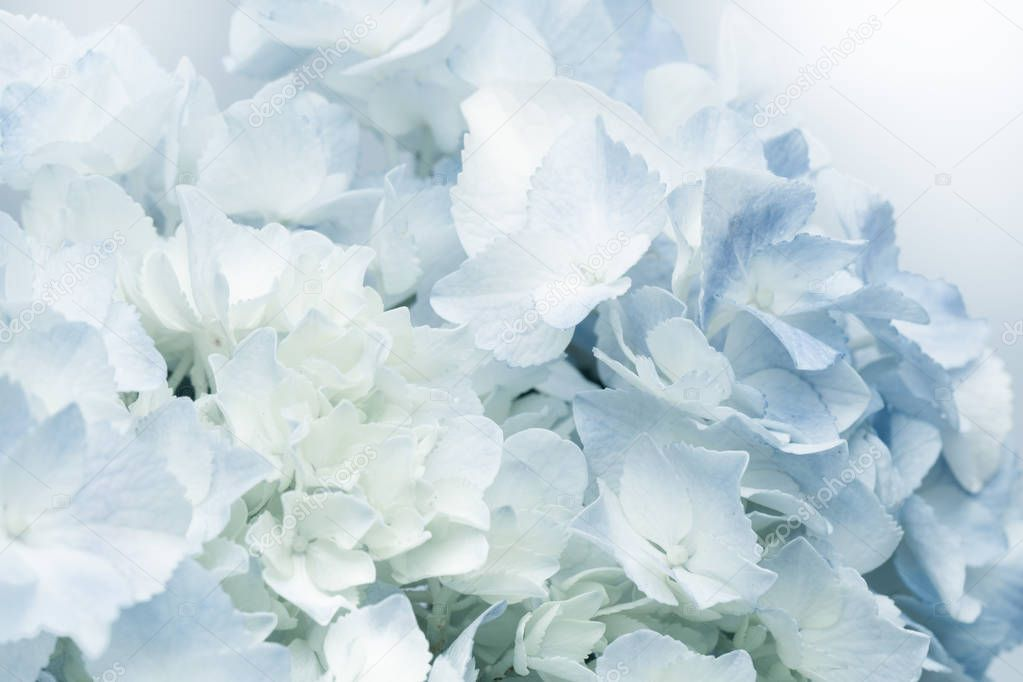 Sweet Blue Hydrangeas Soft Color Style Romantic Background - Stock Photo , #AFF, #Soft, #Color, #Hydrangeas, #Sweet #AD