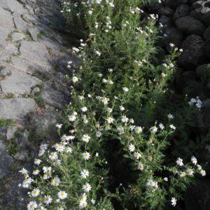 Kanaren Margerite Staude Argyranthemum Adauctum Margeriten