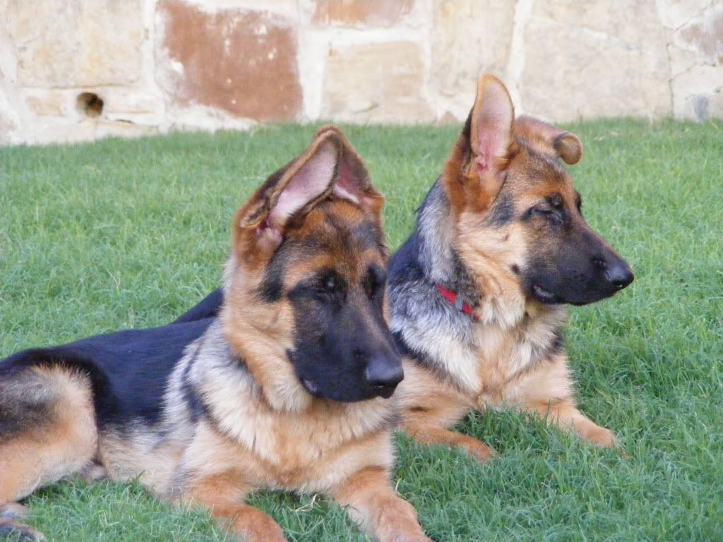 Ear Stages A Pictorial German Shepherd Dog Forums German
