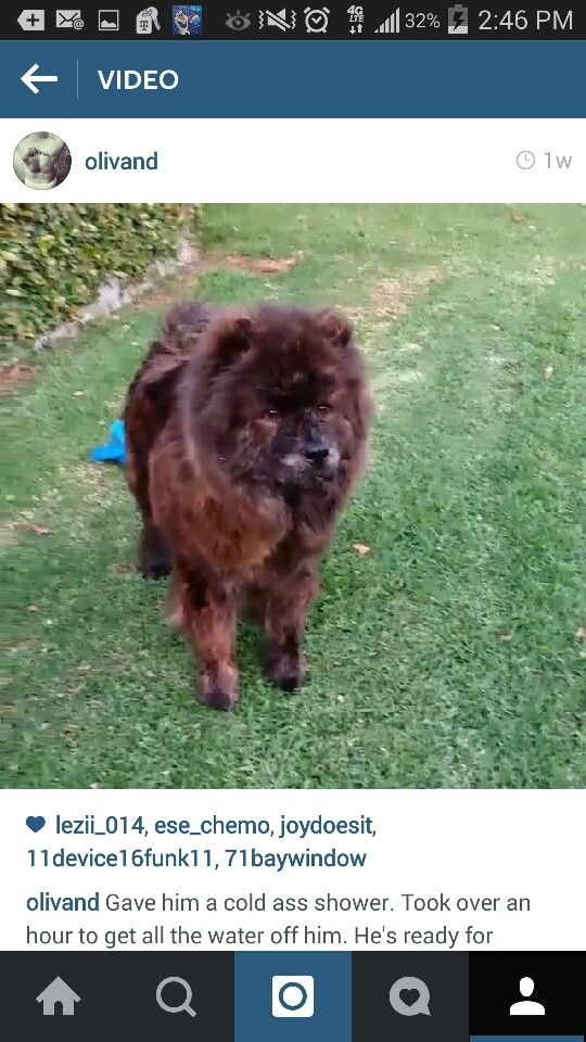 My Precious Full Breed Brindle Chow Chow Boo The Dog Chow Chow