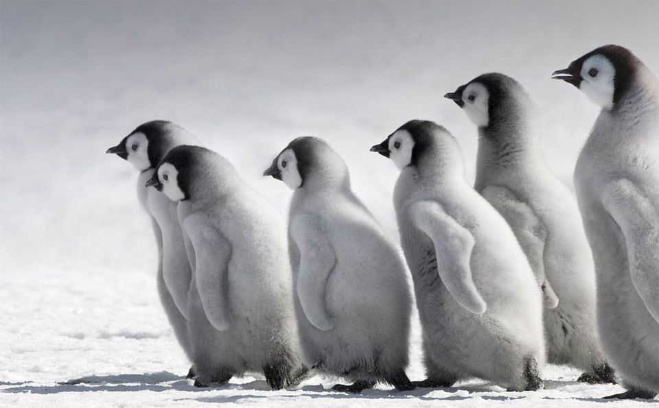 emperor penguin chicks, antarctica