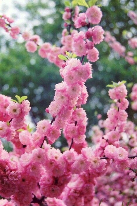 Prunus Triloba Multiplex Pink Flowering Trees Flowering Plum Tree Flowering Trees