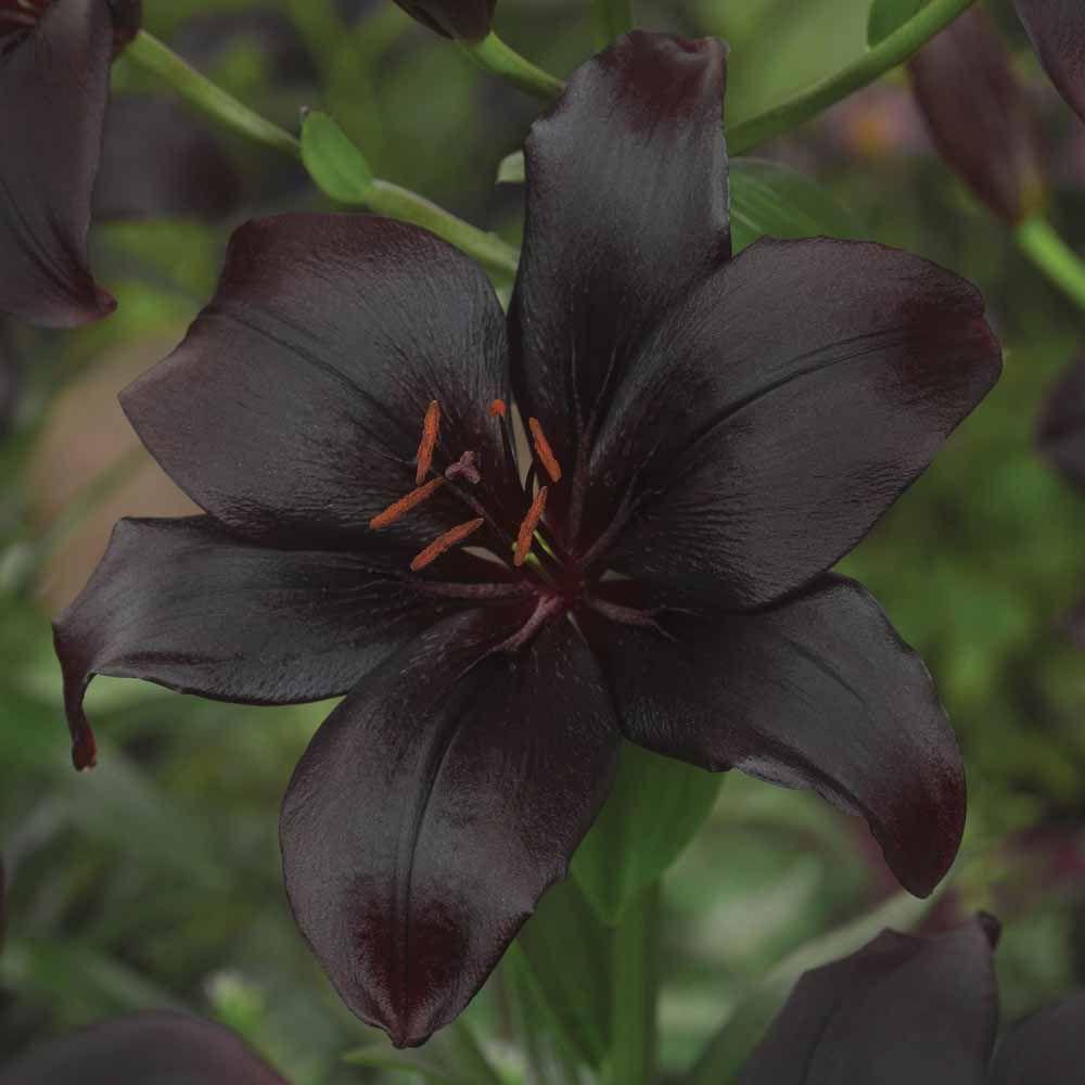 Lily Black Charmliliumasiatic Lily Black Pinterest Lilium