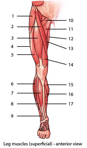 Muscular System : Muscles of the lower limb, quiz 1 : level 1 ...