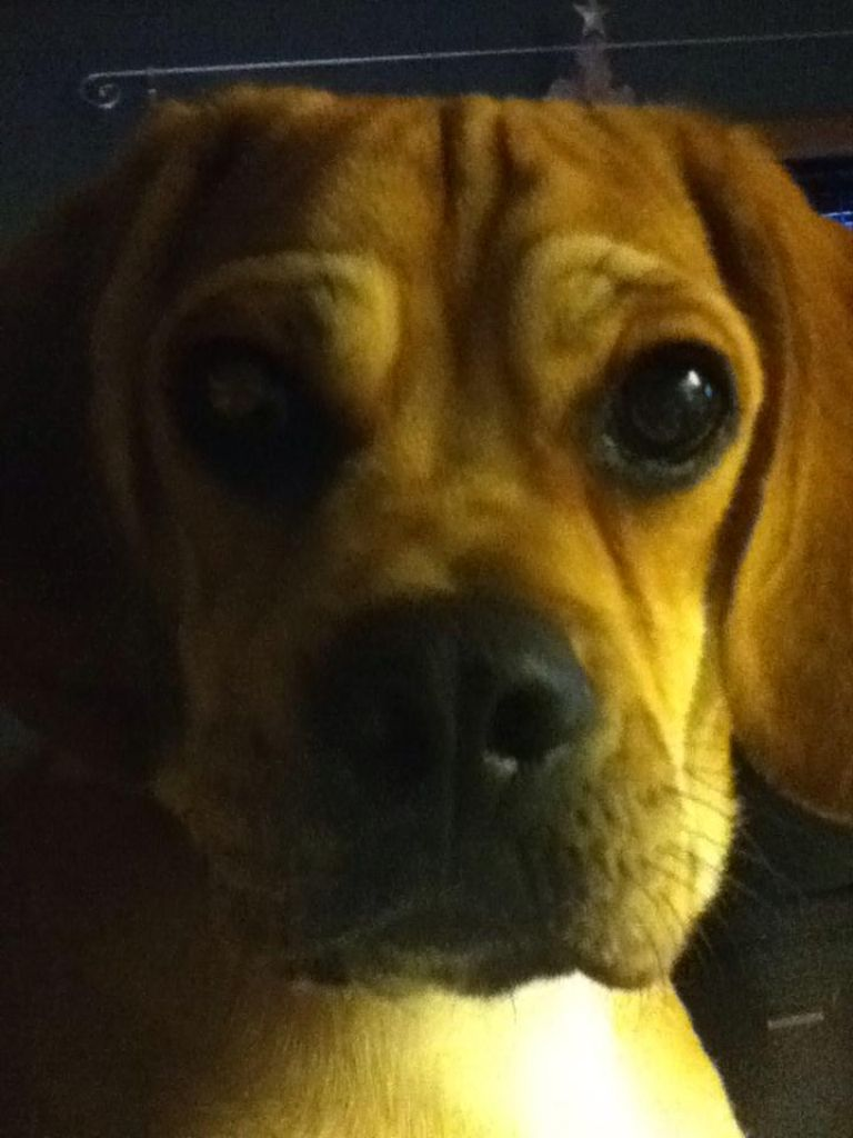 My baby Griffin. Puggle, rotten to the core, god I love him!