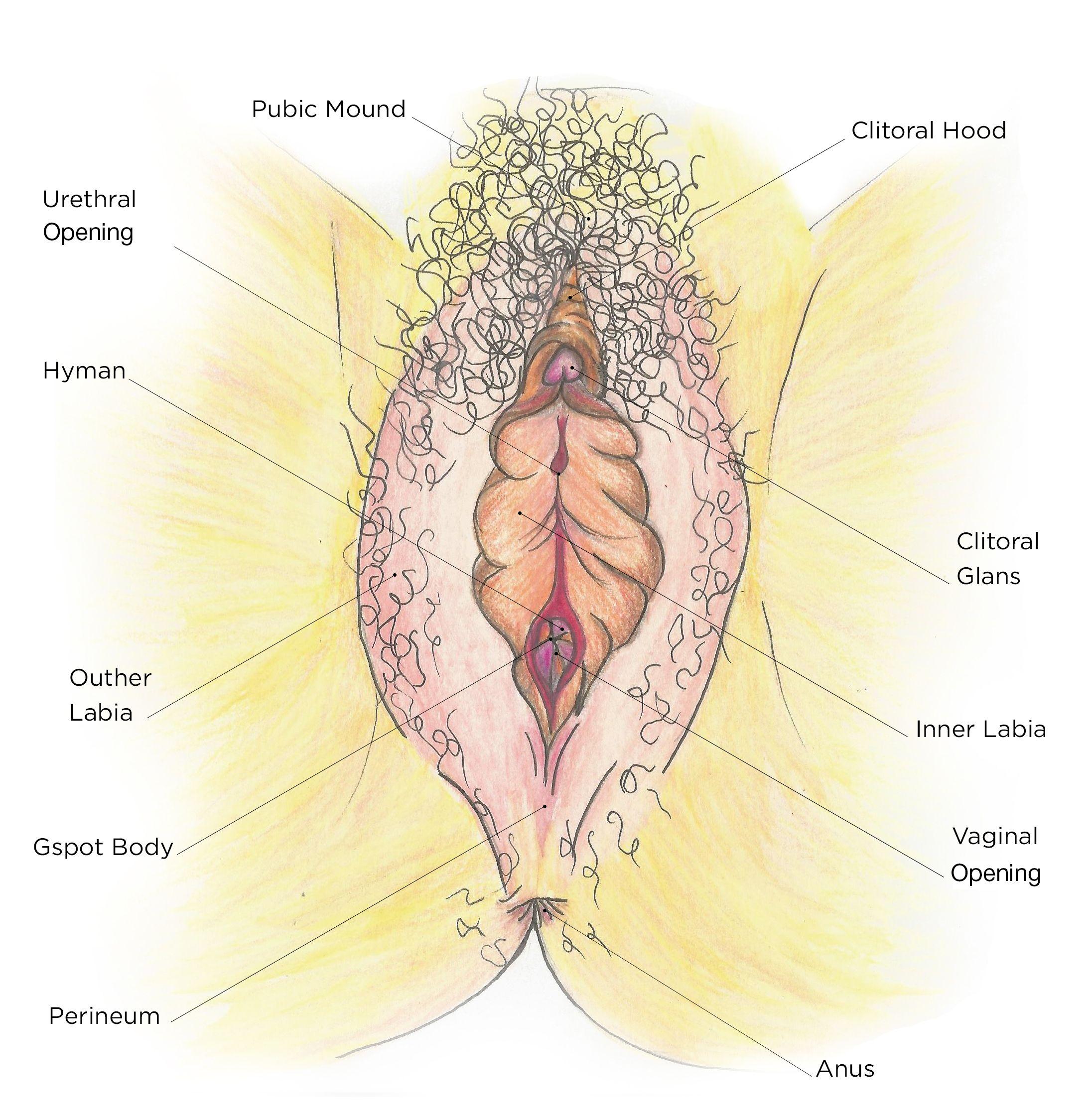 WEEK THREE - THE ANATOMY - THE VULVA   anatomy   Pinterest