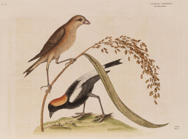 The 'rice-bird' Wall Art Prints by Mark Catesby