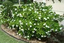 August Beauty Gardenia Shrub With Images Gardenia Shrub