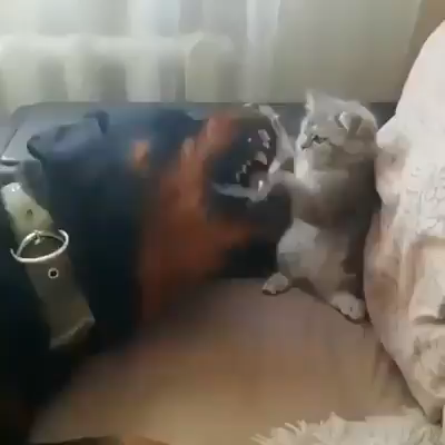 Brave KITTEN Stands Up to Dogs #funnykittens