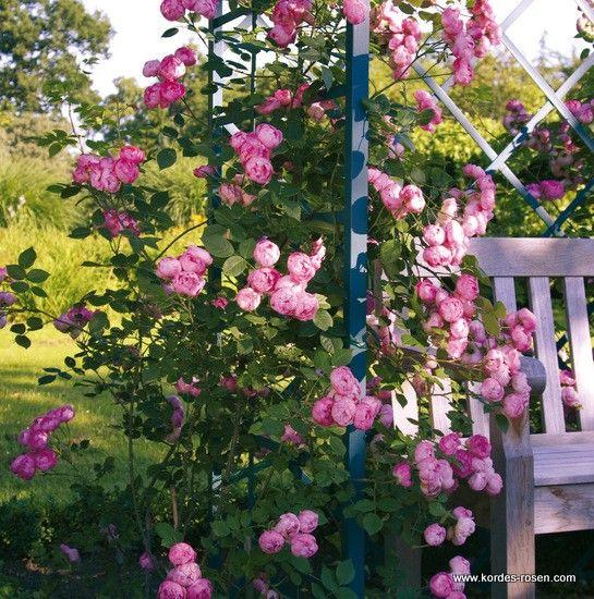 kordes 39 raubritter 39 rosen roser roses pinterest. Black Bedroom Furniture Sets. Home Design Ideas