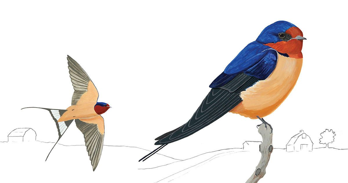 The Barn Swallow Is Slowly Conquering the World | Barn ...