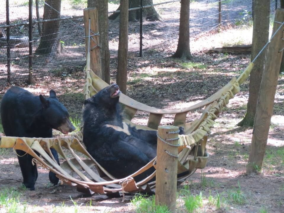 Hershey & Suzy Q having fun in their hammock  #Bears #NoahsArk www