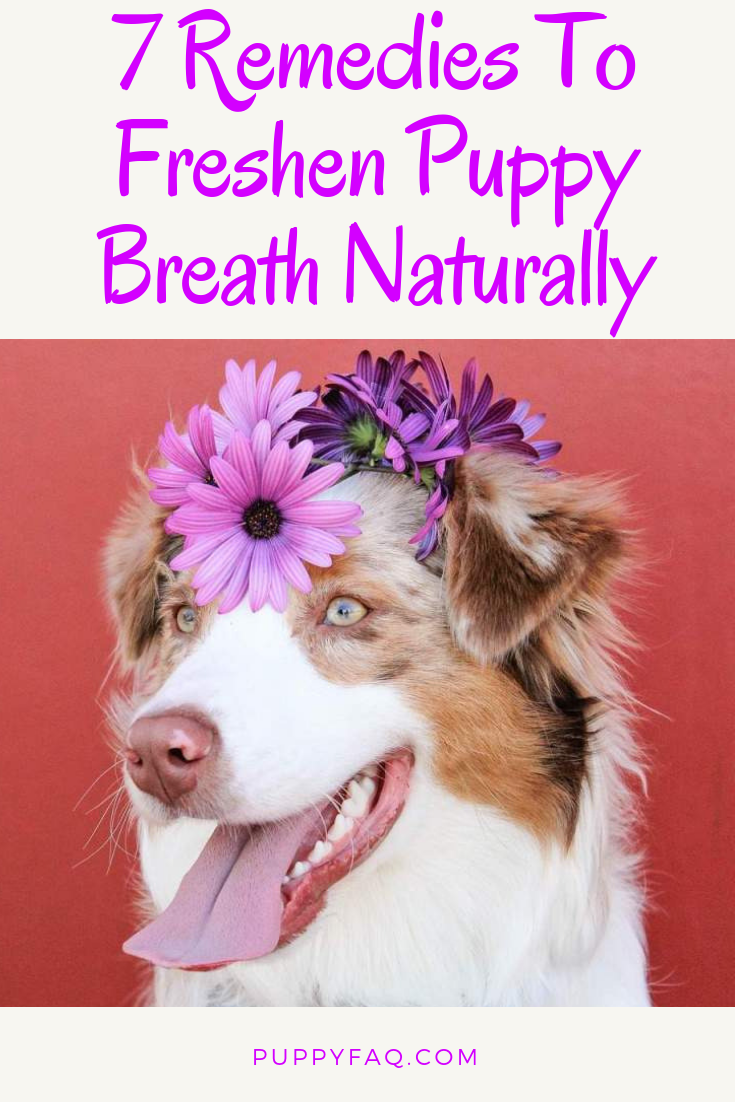 7 Remedies To Freshen Your Puppy S Breath Naturally Smelly Dog