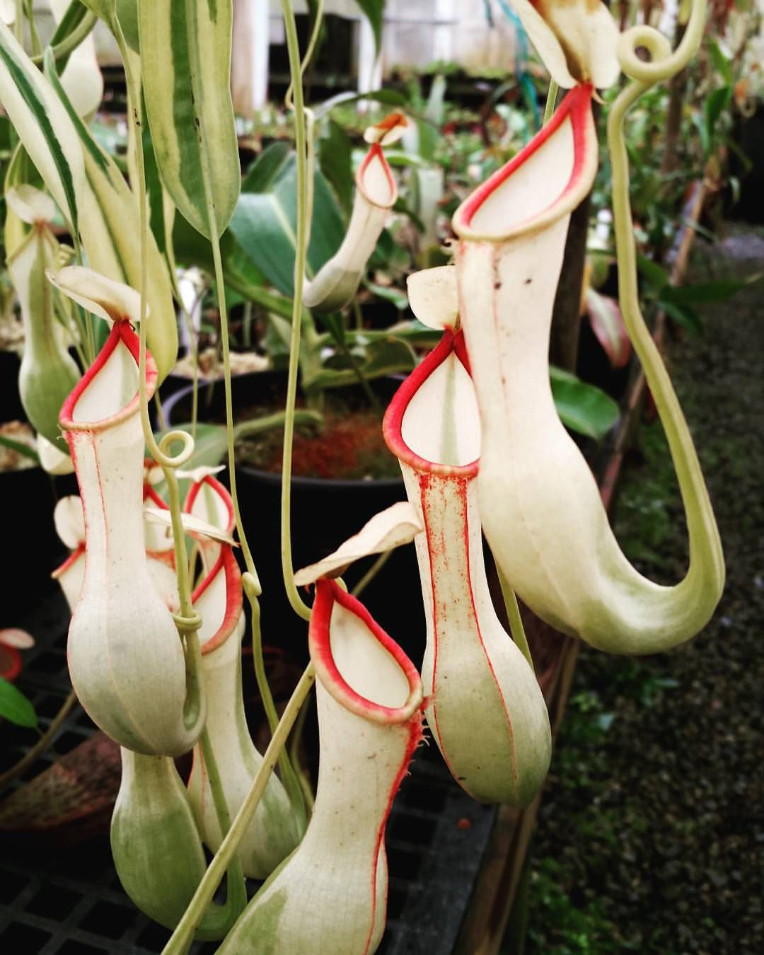 Nepenthes Alata Variegated Rare