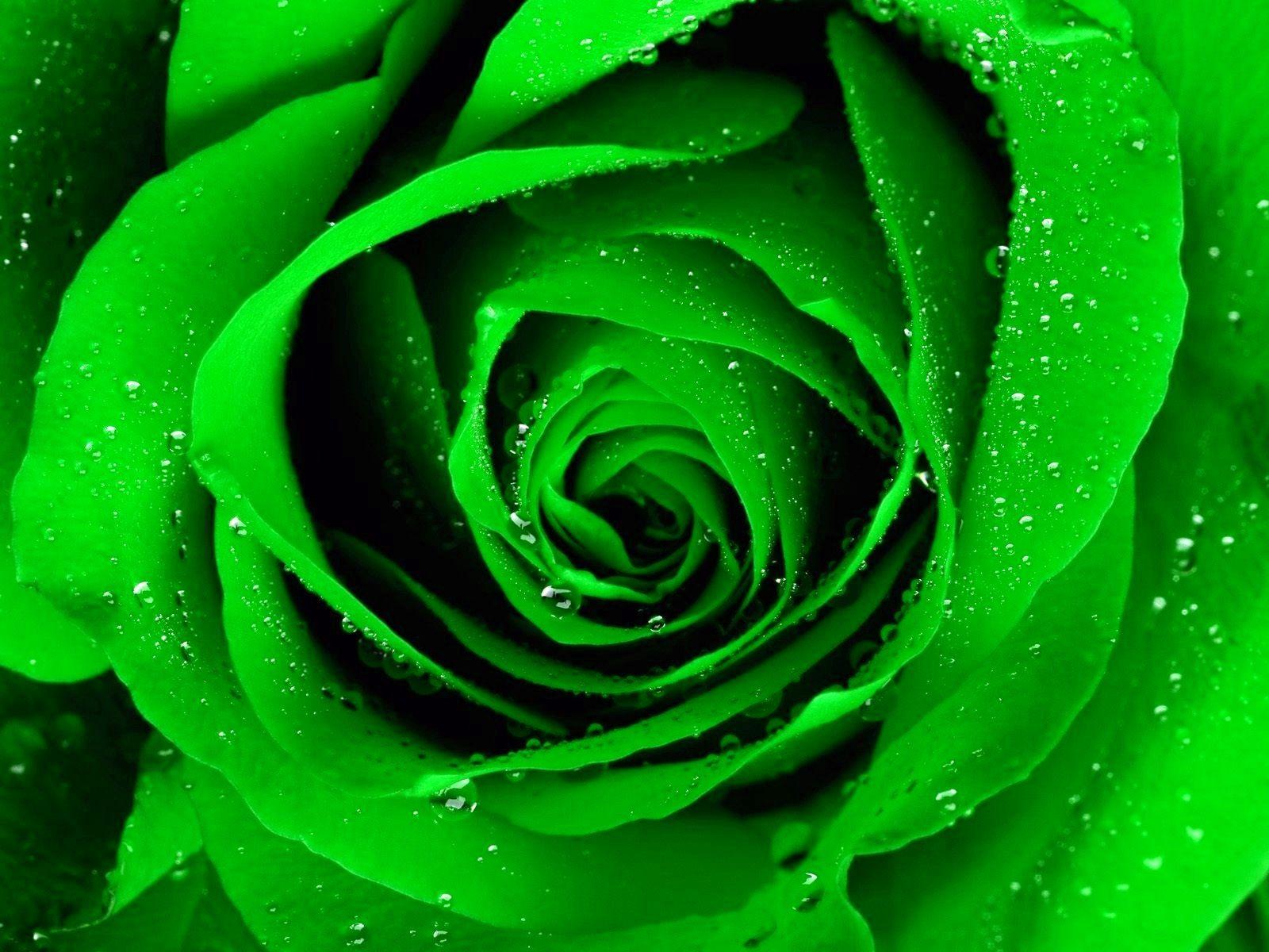 Green Rosa Verde Flores Verdes Rosas Arco Iris