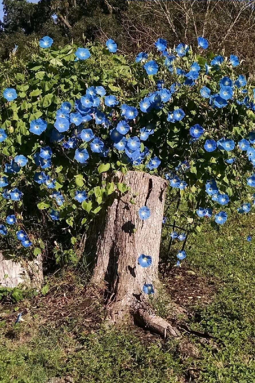 My Blue Morning Glory Vines That Are Planted In A Tree Stump Blue Morning Glory Morning Glory Vine Garden Vines