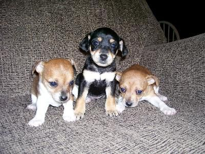 Chihuahua Jack Russell Mix Puppies For Sale Chihuahua Miniature